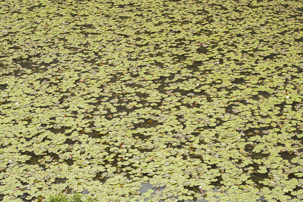 waterplants waterlily water plants
