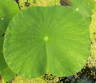 leaf leaves waterlily waterplants waterplant