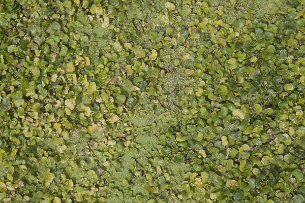 aerial waterplant pond scum lily water waterlily plants groundplants foliage