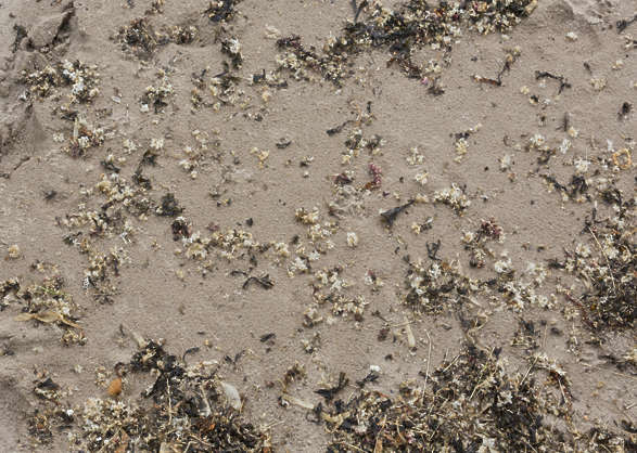 UK sand beach algae