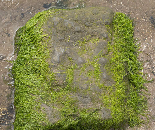 UK moss mossy rock algae