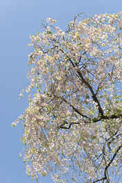 blossom tree branches background