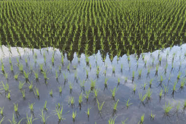 abstract landscape rice ricefield reflection