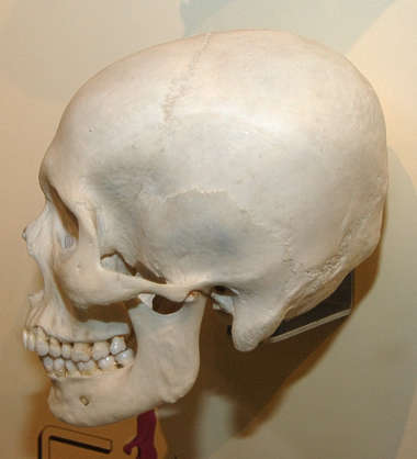skull human bones head skeleton