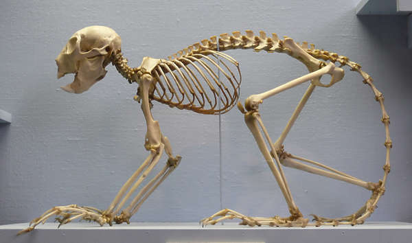 skeleton monkey bones