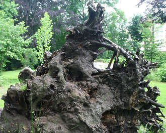 tree root trunk uprooted