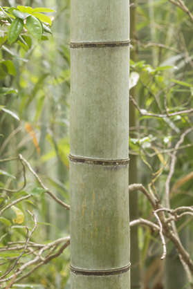 bamboo stem plant tropical japan