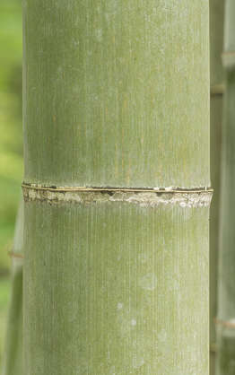 bamboo stem plant tropical japan closeup