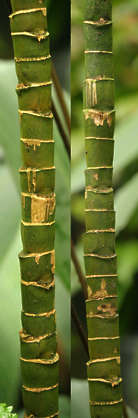 bamboo plant twig