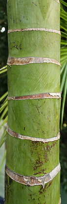 bamboo stem plant tropical