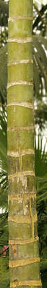 tree tropical palm palmtree bark trunk bamboo