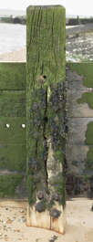 UK wood planks mossy coastal fence post