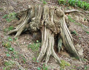 tree stump roots wood dead