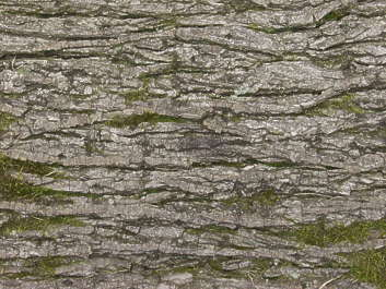 wood bark rough mossy decidious