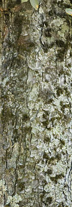 wood bark closeup rough mossy decidious