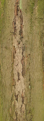 wood bark rough decidious
