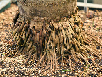 tree palm root roots
