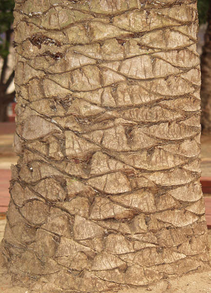 Barkpalm0005 Free Background Texture Wood Bark Palm