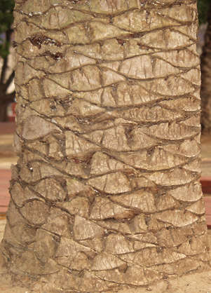wood bark palm palmtree trunk