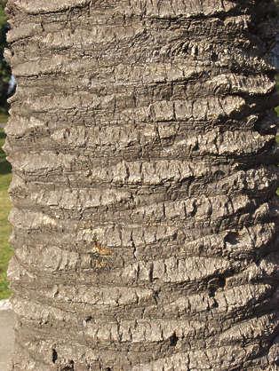 Barkpalm0018 Free Background Texture Wood Bark Palm