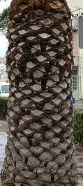 bark palm trunk