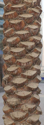 saudi arabia dubai middle east tree bark palm tree