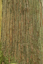 bark tree pine old japan mossy
