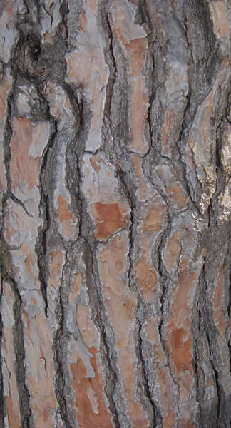 Barkpine0007 Free Background Texture Wood Bark Pine