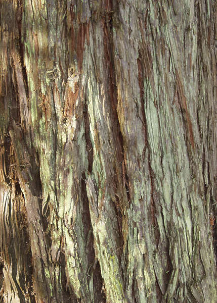 BarkPine0001 Free Background Texture wood bark pine