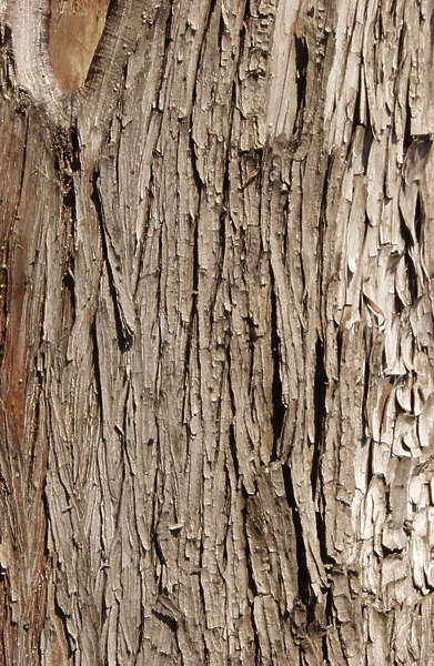 Barkpine0008 Free Background Texture Wood Bark Pine Rough Splintered Yellow Brown Beige