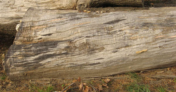 wood log tree dead dry bare stripped